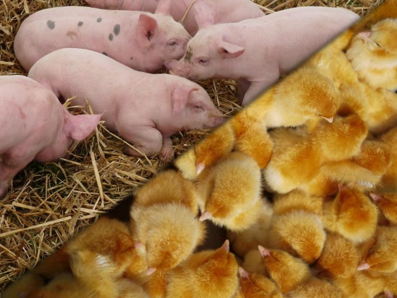 Американских свиней закупать перестали, цыплят— начали