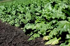 Агрофирма «Весна» увеличила посевы сахарной свеклы на10%
