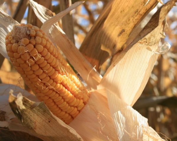 Золотой початок: обзор основных проблем выращивания кукурузы