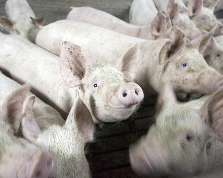 «Сибирская аграрная группа» намерена увеличить выпуск свинины на 60% в 2019 году
