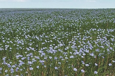 Инвестор вложит 5 млрд рублей впереработку льна вТульской области