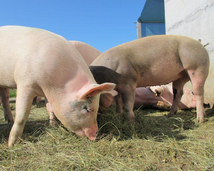 ВоВладимирской области поголовье свиней сократилось вдвое