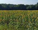 Посевы подсолнечника в этом году могут стать рекордными