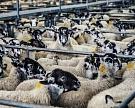 «Мираторг» вложит 20 млрд рублей в овцеводство