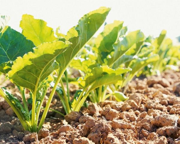 «Байер» и KWS выдали SESVanderHave лицензию на выведение устойчивой к гербицидам сахарной свеклы