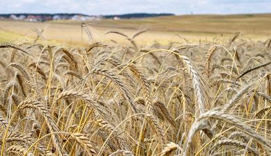 Оренбургская обл. снизит посевы пшеницы