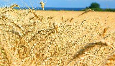 Предпосылок для дефицита зерна нет