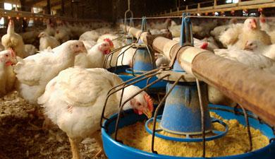 «Челны-Бройлер» накормил птицу цельным зерном