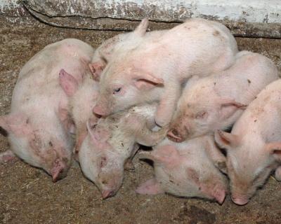 Россельхознадзор ограничил поставку свинины изЛуганской области Украины