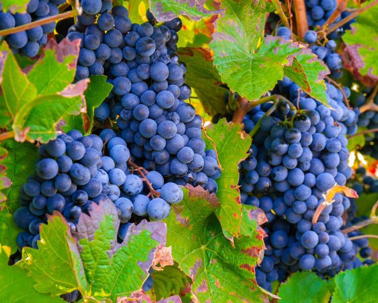 Виноградари идут на рекорд. Но производство вин в стране стагнирует