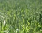 В 2016 году урожай ржи может вырасти почти на 0,5 млн тонн