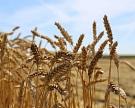 IGC повысил прогноз российского урожая зерна до 124,5 млн тонн