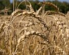 Прогноз урожая зерна снижен до77?80 млн т