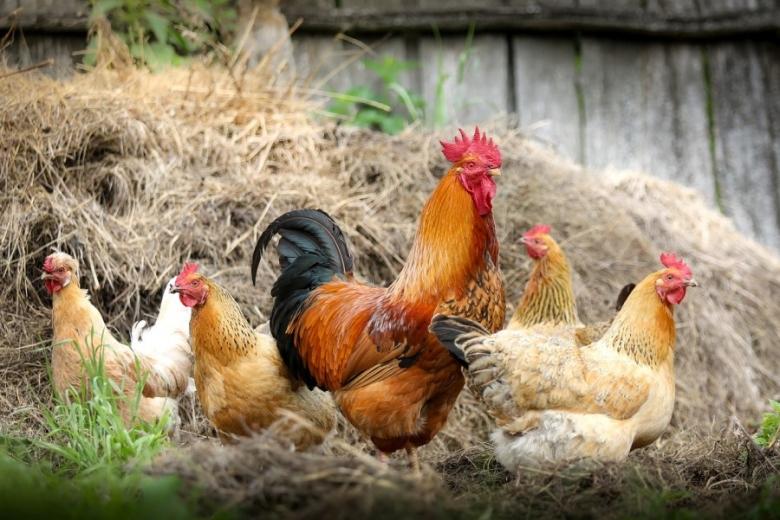 СХО и ЛПХ потеряли 5,5 млн птиц