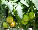 Сбор тепличных овощей вырос на42%
