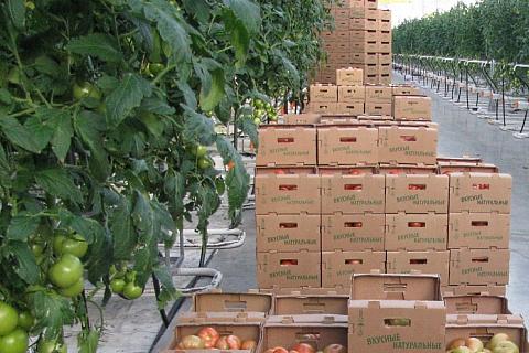 Произведен миллион тонн тепличных овощей