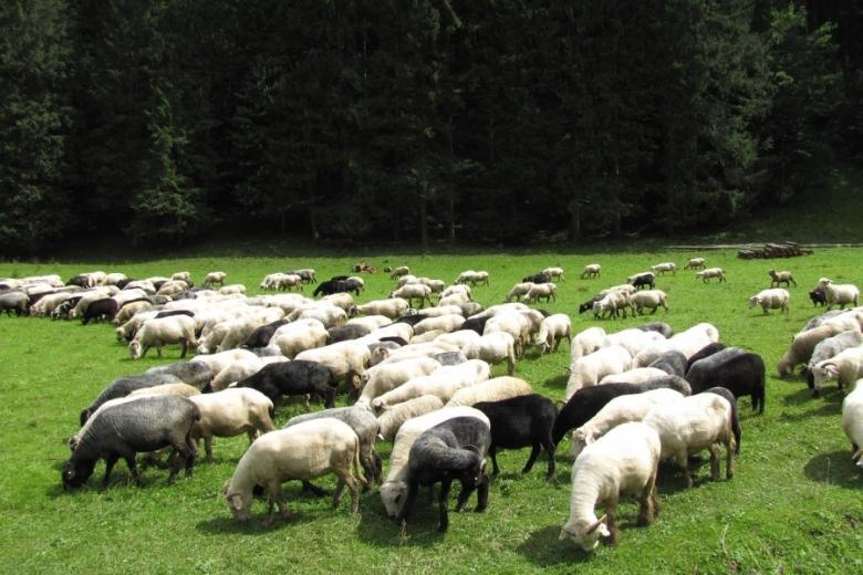 Овец и коз оценивали точнее всего