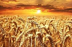 Урожайный код.</br> В России разрабатывают правила зерновой торговли