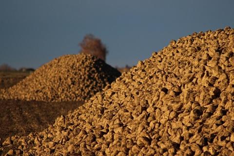 На Кубани сократили посевы сахарной свеклы из-за перепроизводства