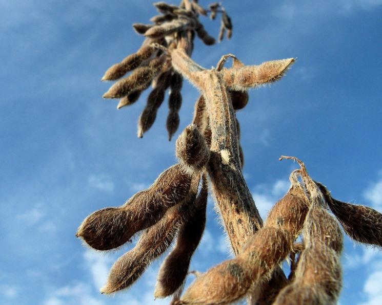 «АгроТерра» будет развивать производство семян сои