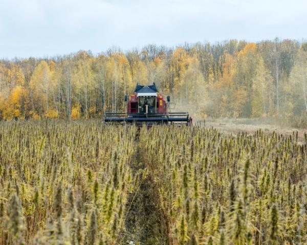 Разрешенная к выращиванию конопля в рф заменяет марихуану
