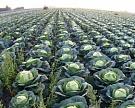 Нетехнологичный овощ