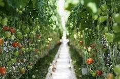Плодоовощной союз просит сохранить господдержку тепличной отрасли