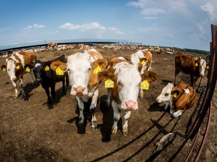 Производители молока объявили наПетербургском форуме орасширении мощностей