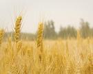 Топ-11 регионов произвели 30% зерна в стране