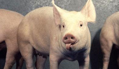 Наглубокую переработку свинины за3 года выделят по6млрдруб.