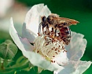 Популяция пчел вСША стремительно уменьшается