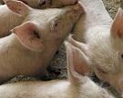 ВДонГАУ кормят свиней отходами