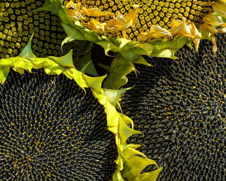 Для масличных нет предела. Общий урожай подсолнечника, сои и рапса составил 18,7 млн тонн