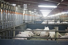 Чума свиней обнаружена у Russia Baltic Pork Invest