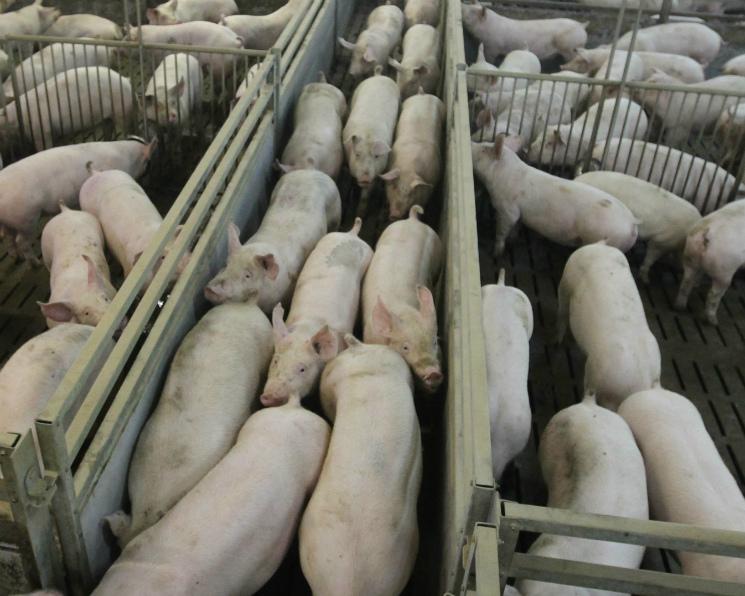 Ущерб «Мираторга» и«Русагро» отчумы свиней оценен в450 млн рублей