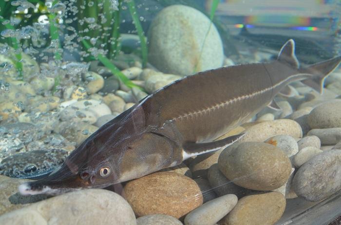 Рыбы-гиганты любовались гостями фестиваля из аквариума