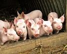 Тамбовская область добавила свинины