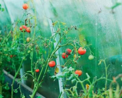 Новое исследование проливает свет на эволюцию томата