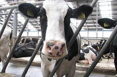 Рентабельность молочных ферм в 2018 году снизится
