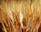 «Балтика» будет выращивать весь необходимый объем ячменя в России