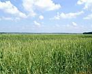 Рынок пшеницы подрос, несмотря на улучшение погоды в США