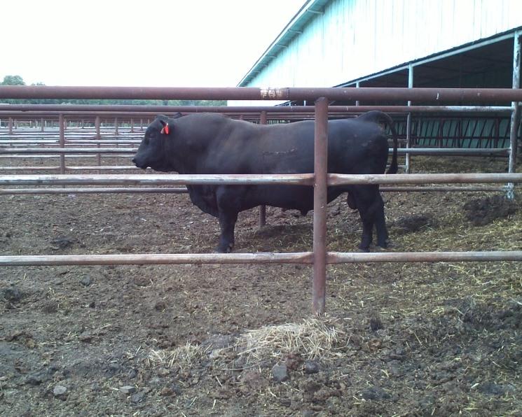 Нацелены на мясо. Биопрепараты помогут раскрыть потенциал мясных качеств КРС