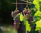 Кубань собрала рекордные 211 тыс. тонн винограда