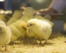 Птицеводство продолжает расти