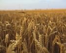 Экспортные цены на пшеницу за неделю почти не изменились
