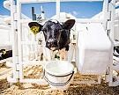 «Русмолко» открывает центр повоспроизводству стада