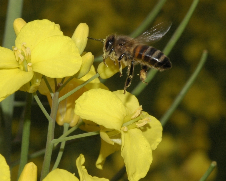 Не просто «бзз». Учёные взяли курс на сохранение насекомых-опылителей