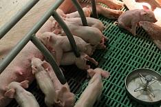 Курская область произвела рекордные 500 тысяч тонн мяса