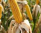 Рынок кукурузы 16апреля потерял 1,2%