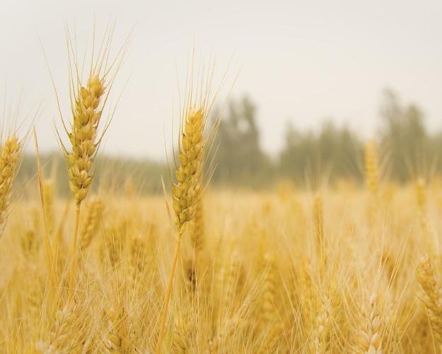 Топ-11 регионов произвели 30% зерна встране